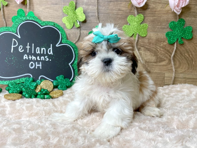 Shih Tzu-Female-Red / White-3027005-Petland Athens, OH