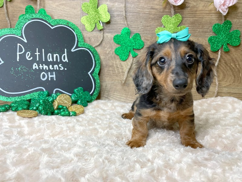 Dachshund-Female-Black / Tan-3025996-Petland Athens, OH