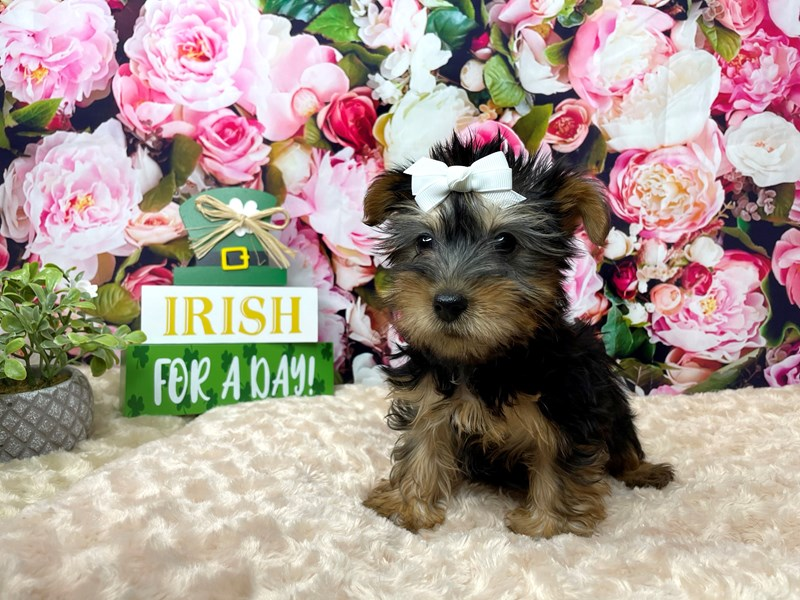 Silky Terrier-Female-Black / Tan-3036486-Petland Athens, OH