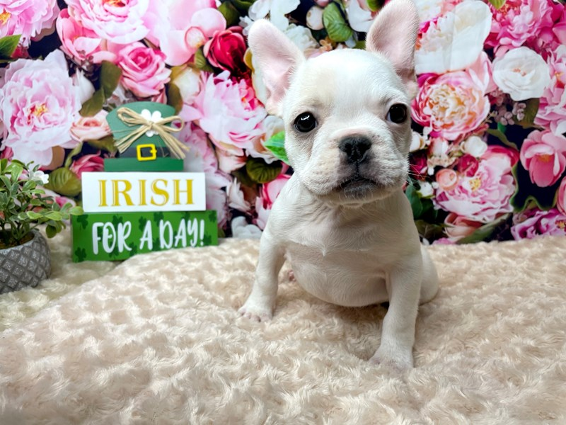 French Bulldog-Female-Cream-3035670-Petland Athens, OH