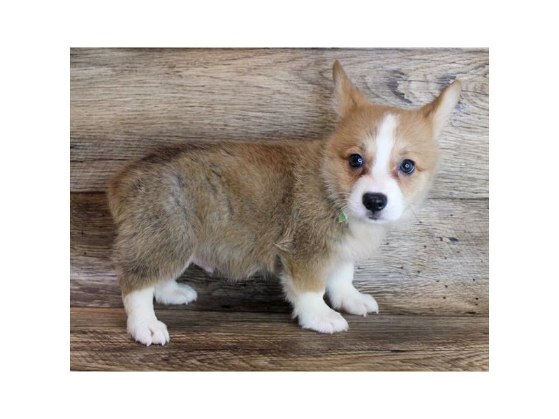 Pembroke Welsh Corgi-Male-Sable / White-3046624-Petland Athens, OH
