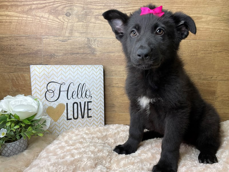 German Shepherd Dog-Female-Black-3045603-Petland Athens, OH