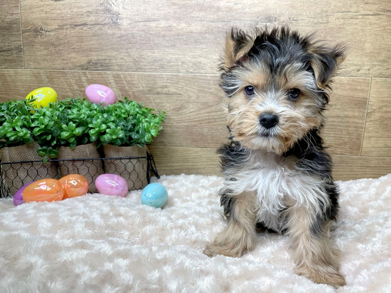 Yorkshire Terrier-Male-Black / Tan-3026063-Petland Athens, OH