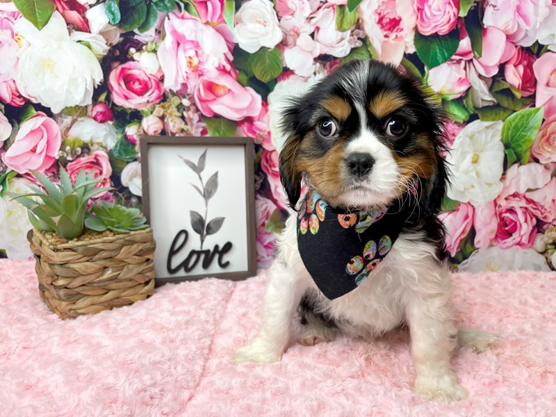 Cavalier King Charles Spaniel-Male-Tri-Colored-3014982-Petland Athens, OH