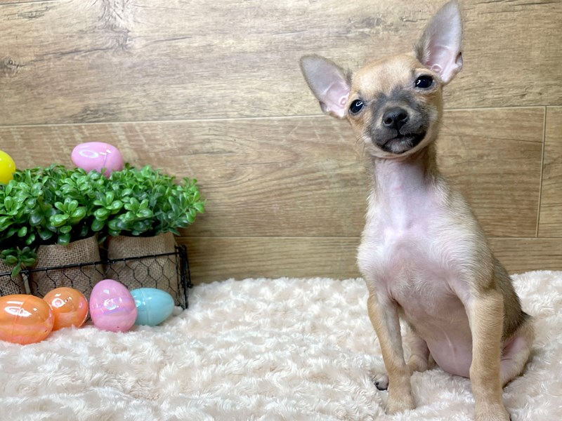 Chihuahua-Female-Fawn Sable-3027003-Petland Athens, OH