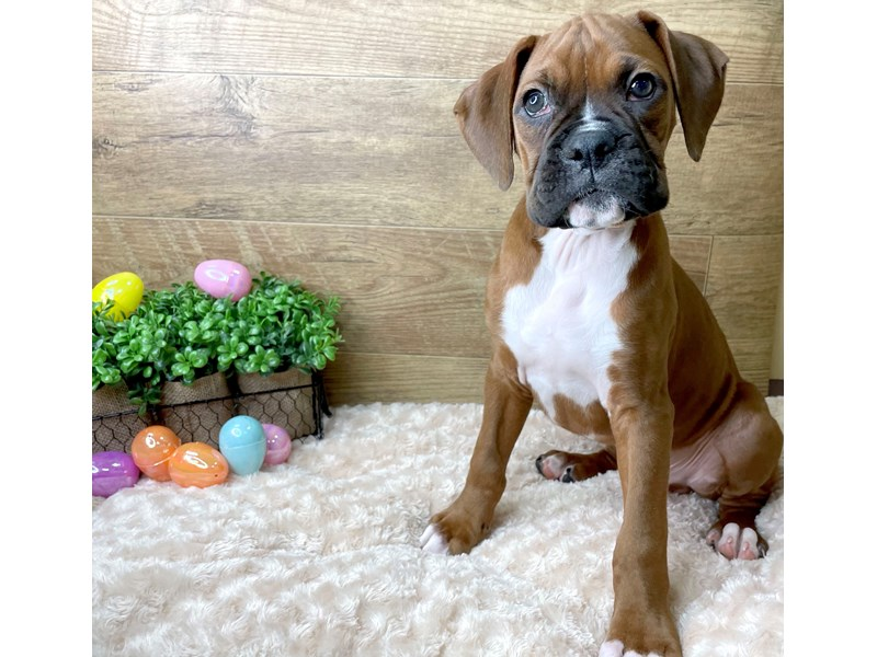 Boxer-Male-Fawn-3036490-Petland Athens, OH
