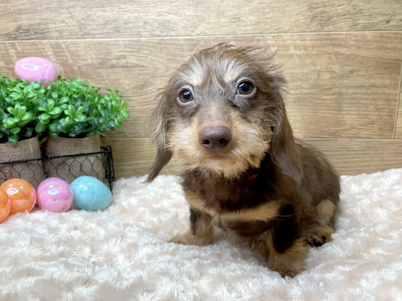 Dachshund-DOG-Male-Chocolate / Tan-3036485-Petland Athens, OH