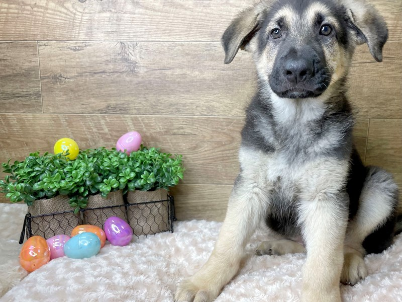 German Shepherd Dog-Male-Black / Tan-3057310-Petland Athens, OH