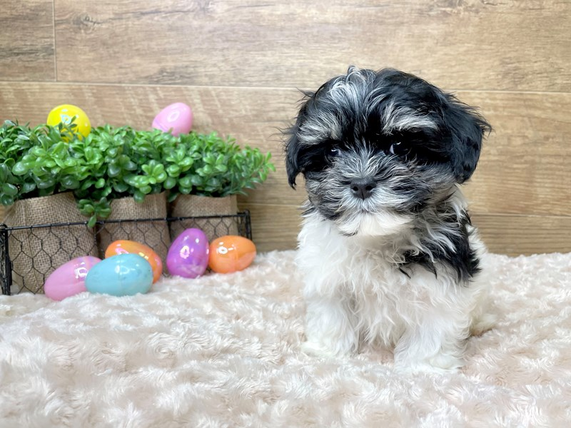 Poodle/Maltese-DOG-Male-Black / White-3058181-Petland Athens, OH