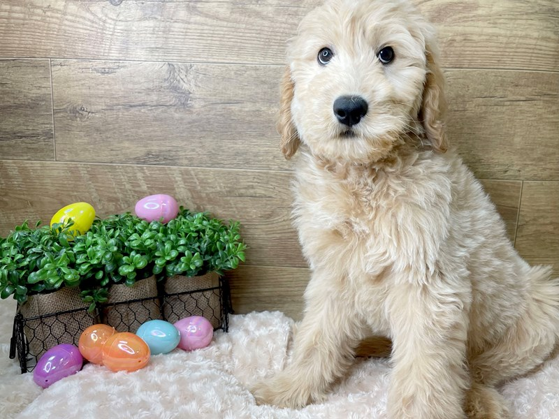 Goldendoodle-Male-Light Golden-3035669-Petland Athens, OH