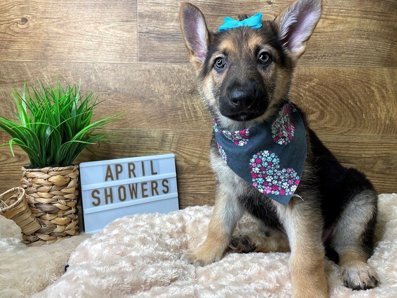 German Shepherd Dog-Female-Black / Tan-3068652-Petland Athens, OH