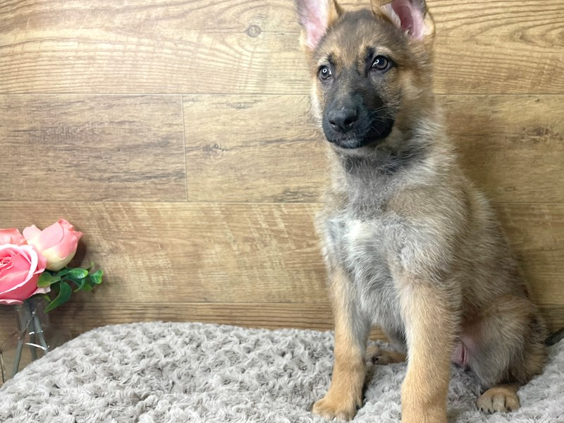German Shepherd Dog-Female-Sable-3101309-Petland Athens, OH