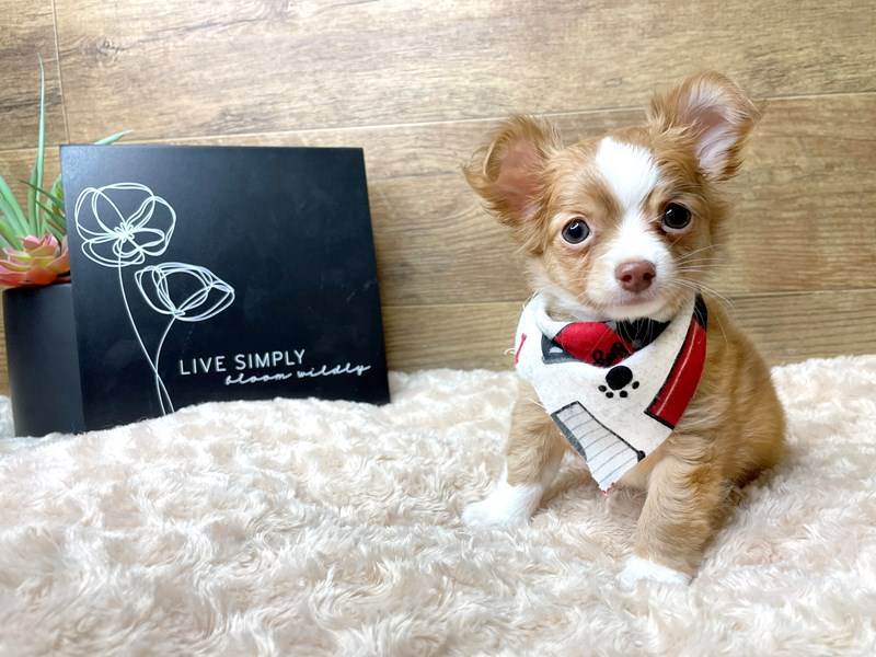 Chihuahua-Male-Red-3078030-Petland Athens, OH