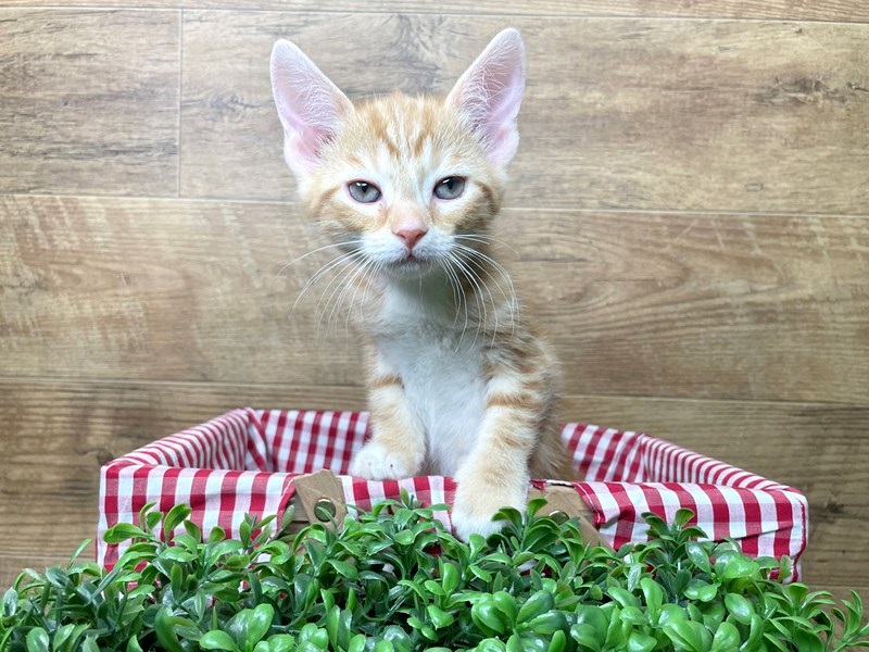 American Shorthair-CAT-Male-Orange/white-3110621-Petland Athens, OH