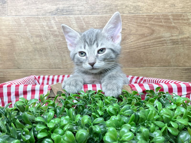 American Shorthair-CAT-Male-Grey/white-3110623-Petland Athens, OH