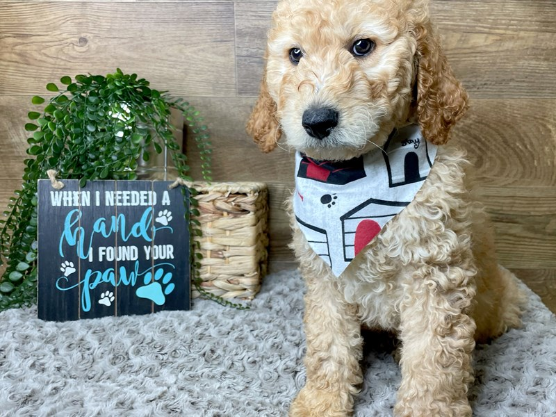 Goldendoodle-Male-Red-3125431-Petland Athens, OH