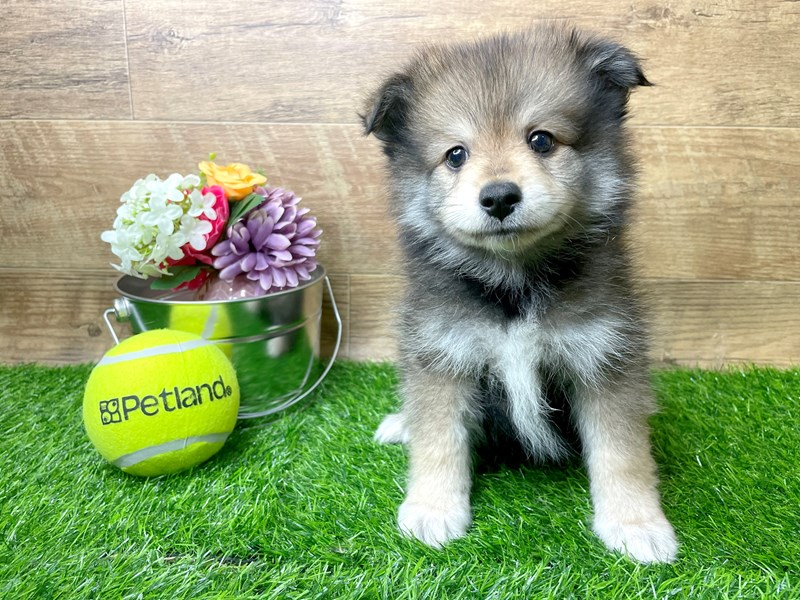Pomeranian-Male-Red Sable-3144325-Petland Athens, OH