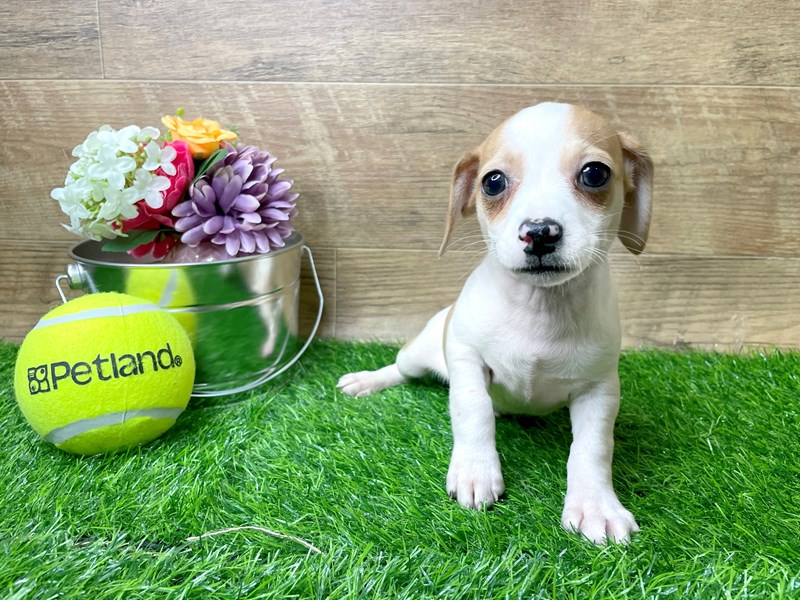 Chiweenie-DOG-Male-Red-3144322-Petland Athens, OH