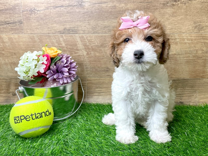Lhasapoo-Female-Red-3144324-Petland Athens, OH
