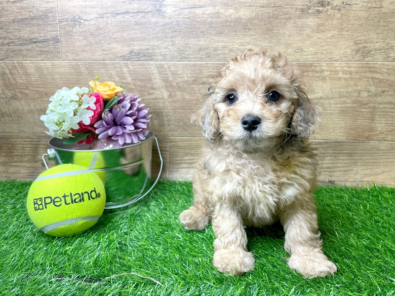 Miniature Poodle-Male-red-3144939-Petland Athens, OH