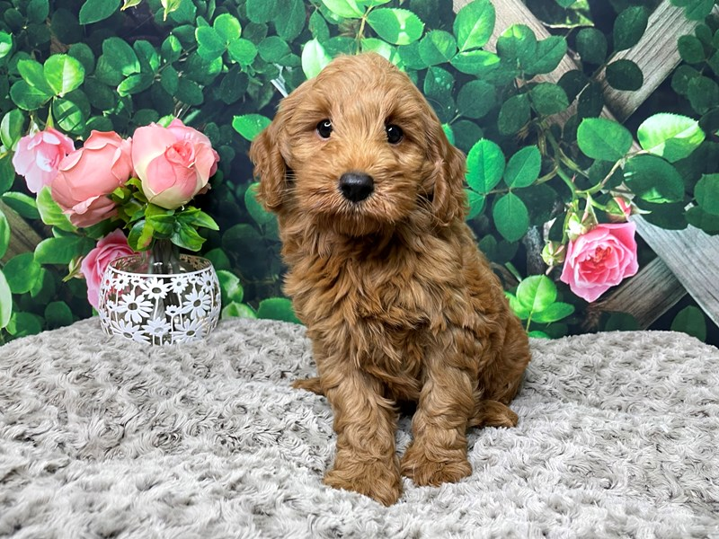 Mini Labradoodle-Male-Red-3173711-Petland Athens, OH