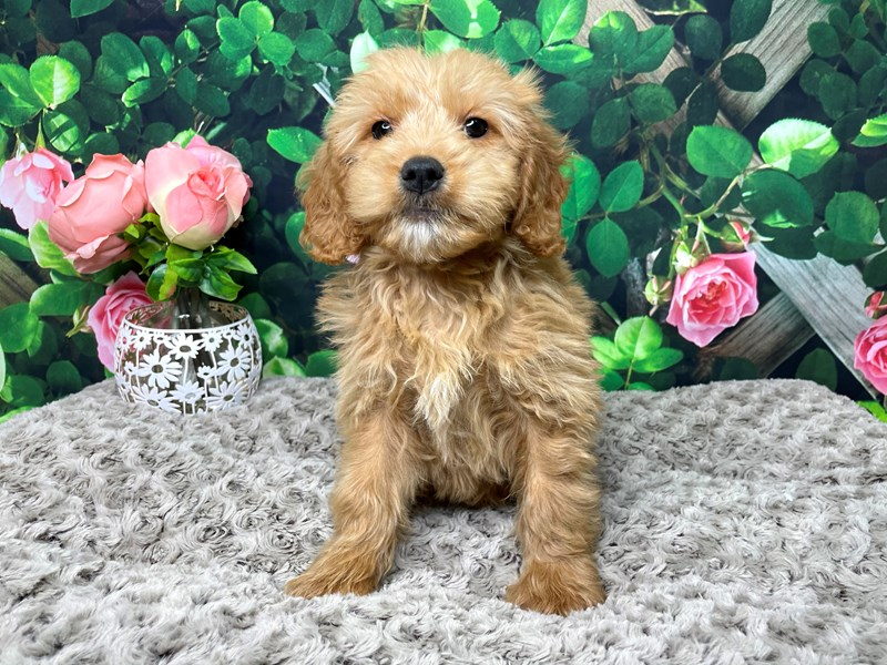 Goldendoodle Mini-DOG-Male-Red-3173697-Petland Athens, OH