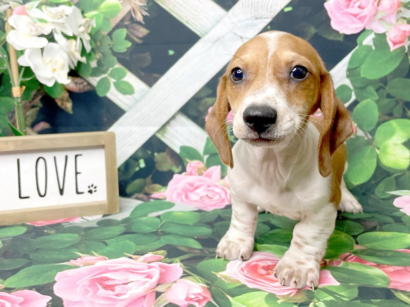 Dachshund-Male-Red / White-3190791-Petland Athens, OH