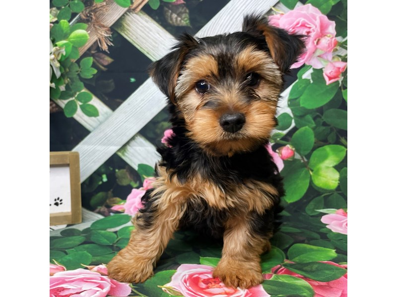 Yorkshire Terrier-Male-blk&tn-3183086-Petland Athens, OH
