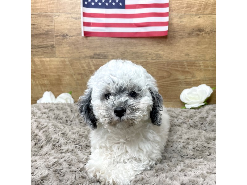 Miniature Poodle-Male-Black and white parti merle-3191636-Petland Athens, OH