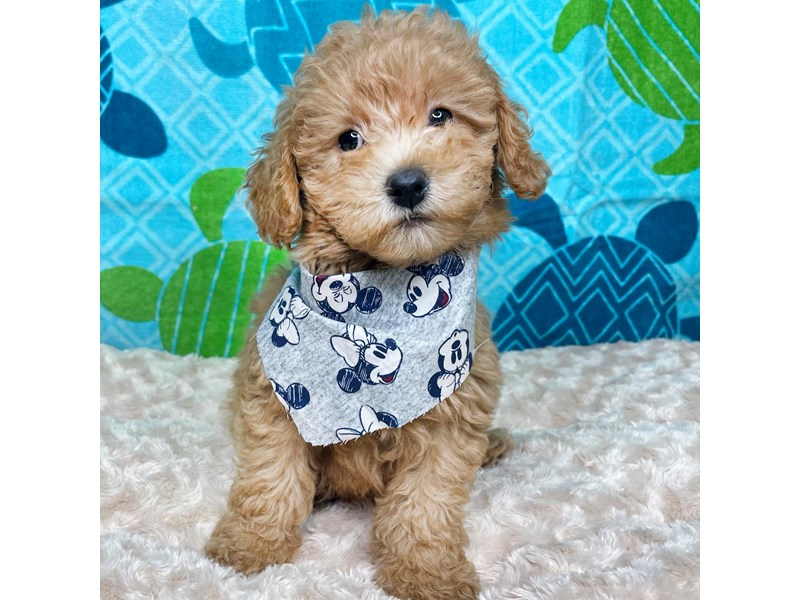 Goldendoodle Mini 2nd Gen-Male-Red-3218411-Petland Athens, OH
