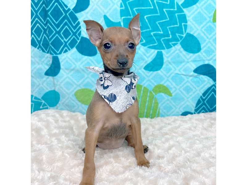 Miniature Pinscher-DOG-Female-Stag Red-3220288-Petland Athens, OH