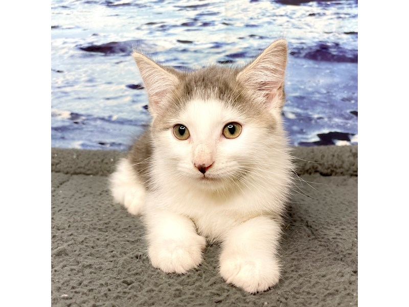 American Shorthair-CAT-Male-White & grey-3247781-Petland Athens, OH