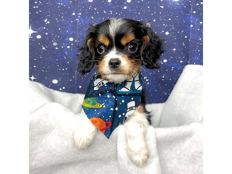 Cavalier King Charles Spaniel-Male-Tri-color-3259058-Petland Athens, OH