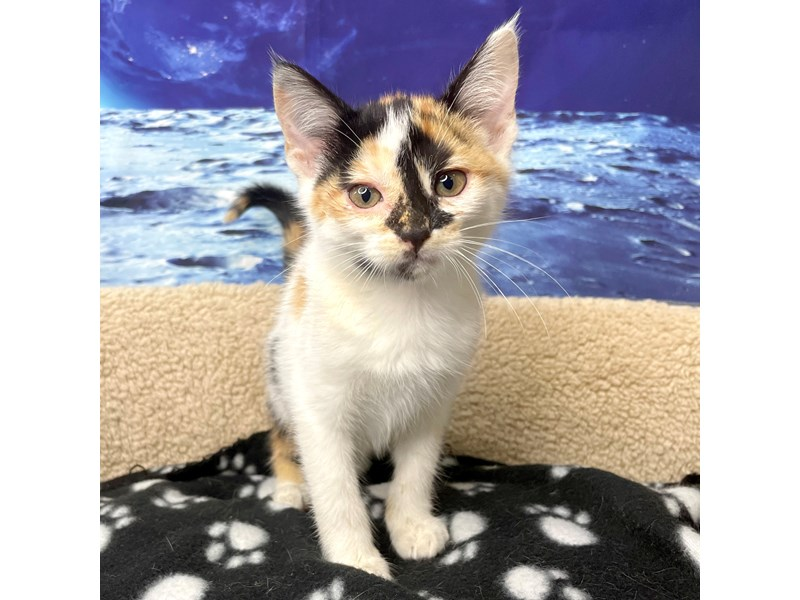 American Shorthair-CAT-Female-White calico-3270138-Petland Athens, OH