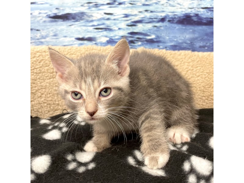 American Shorthair-CAT-Male-Grey & white-3270125-Petland Athens, OH