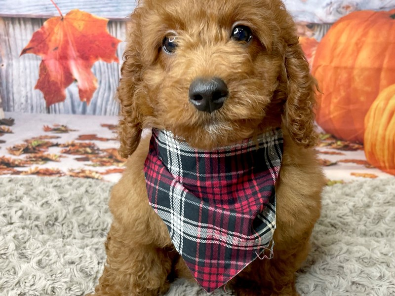 Goldendoodle Mini 2nd Gen-Male-Dark Red-3293173-Petland Athens, OH