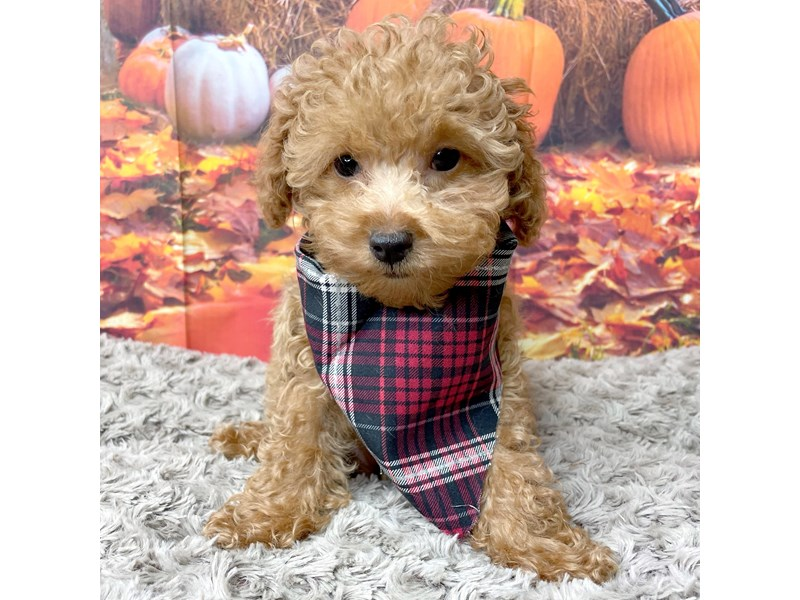 Poodle-Male-Red-3302898-Petland Athens, OH