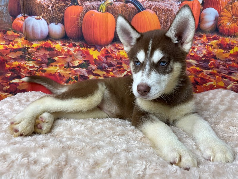Siberian Husky-Female-Red and white-3314817-Petland Athens, OH